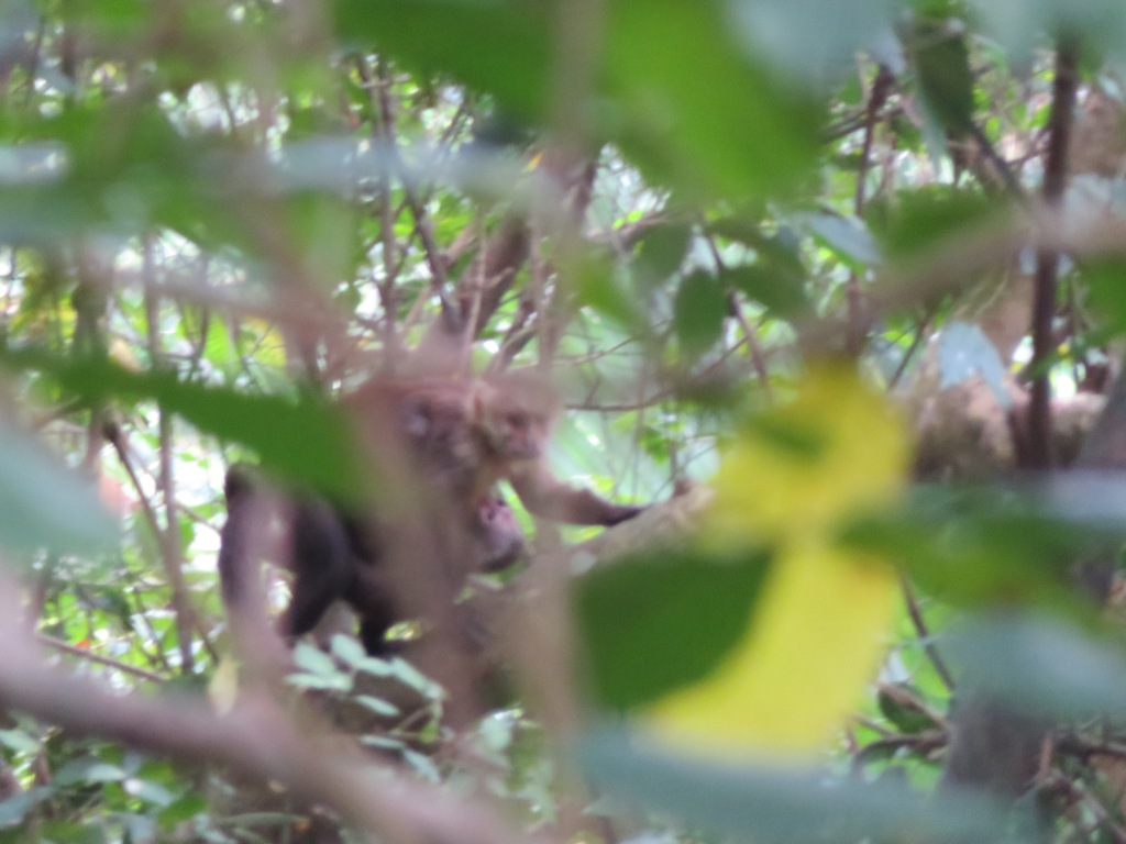 Momma Capucin carrying baby Capuchin in Tayrona National Park