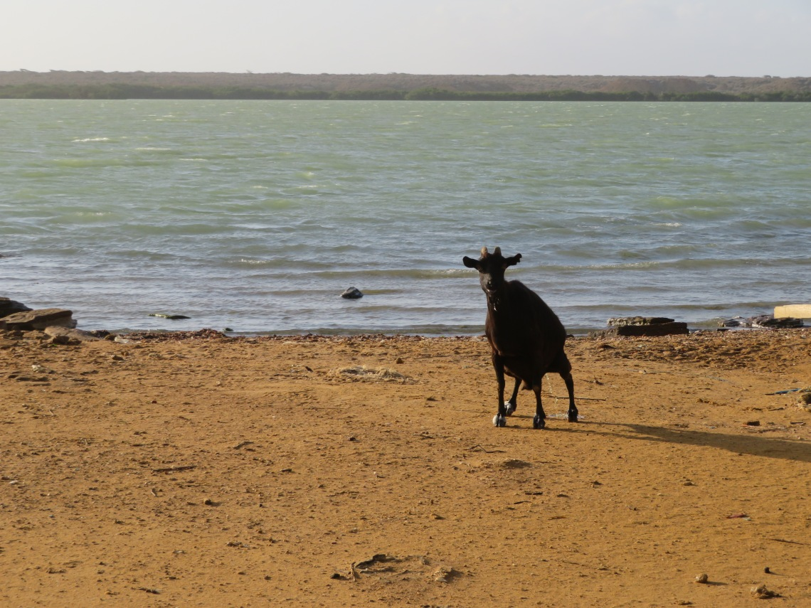 Goat on the beach establishing dominance by showing me it wasn't afraid to pee while looking me in the eye.